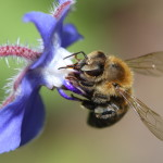 Abeille butinant une bourrache officinale