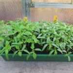semis tomate